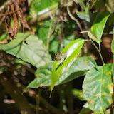 Dismorphia arcadia (C. FELDER & R. FELDER, 1862), ssp. Rio Los Cedros, 1400 m. Montagnes de Toisan, Cordillère de La Plata (Imbabura, Équateur), 20 novembre 2013. Photo : J.-M. Gayman