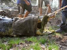 crocodile-harvesting-2009-5.jpg