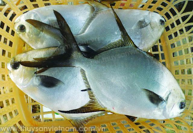 Kỹ thuật nuôi cá chim vây vàng - 55c428eec9daf
