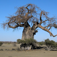 Tuli Block - 500 yr old Baobob tree
