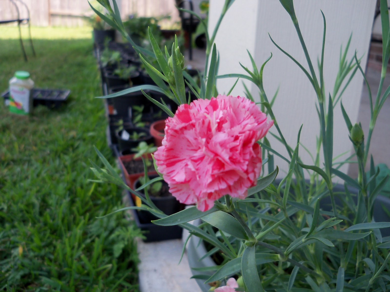 Gardening 2012 - 115_1723.JPG