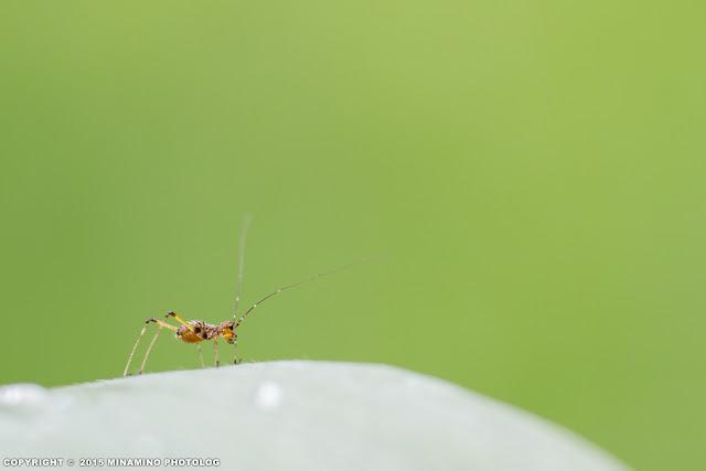 アシグロツユムシ若齢幼虫