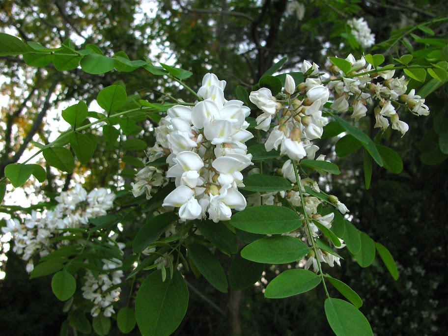 Blooming Black Locust in Queen Anne's Co., Maryland (5/5/2010).