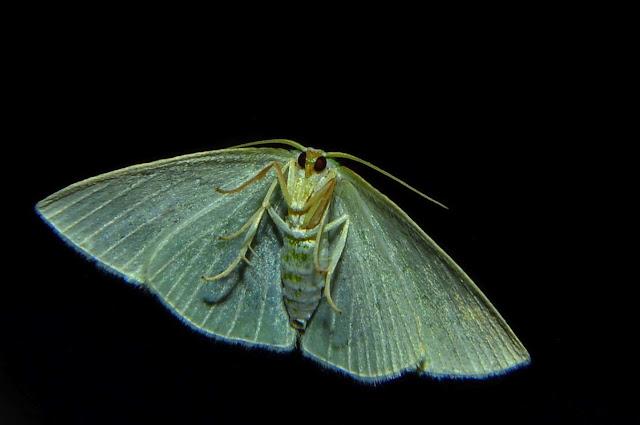 Geometridae : Geometrinae : Chloeres citrolimbaria GUÉNÉE, 1857, verso. Umina Beach (NSW, Australie), 10 octobre 2011. Photo : Barbara Kedzierski