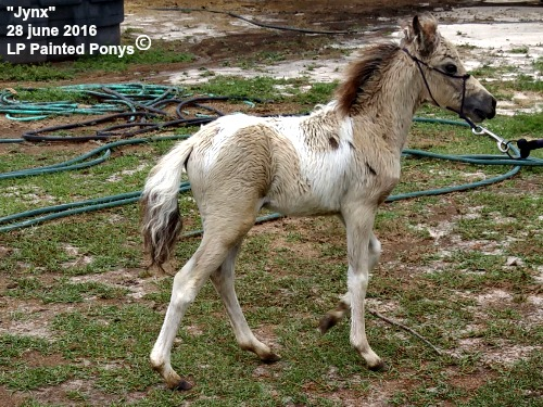 Lp Painted Krmel Jynx T - 2016 buckskin tobiano filly