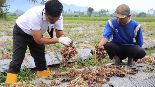 Panen Besar Di Payolinyam, Pemerintah Kota Payakumbuh Terus Dorong Petani Bawang Untuk Produktif Di Tengah Pandemi Covid-19