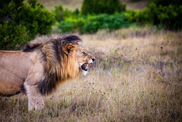 Fakta Singa Yang Unik dan Menarik untuk menambah wawasan 21 Fakta Singa Yang Unik dan Menarik untuk menambah wawasan