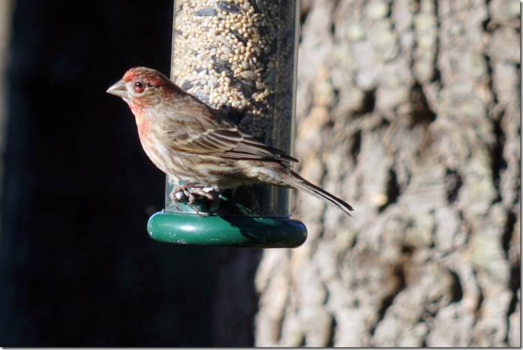 lopez house finch 031118 00001