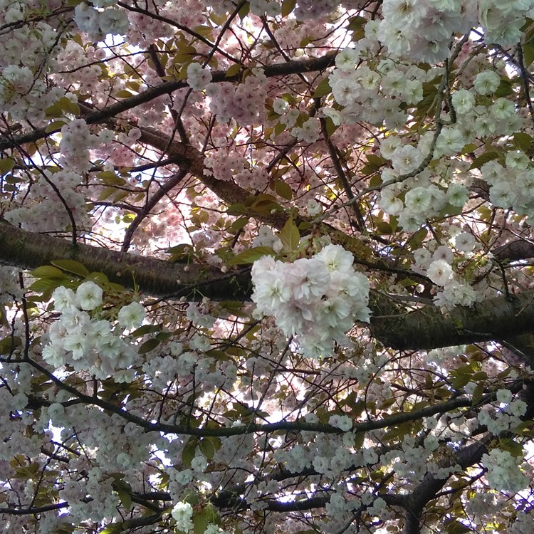 blossom treee