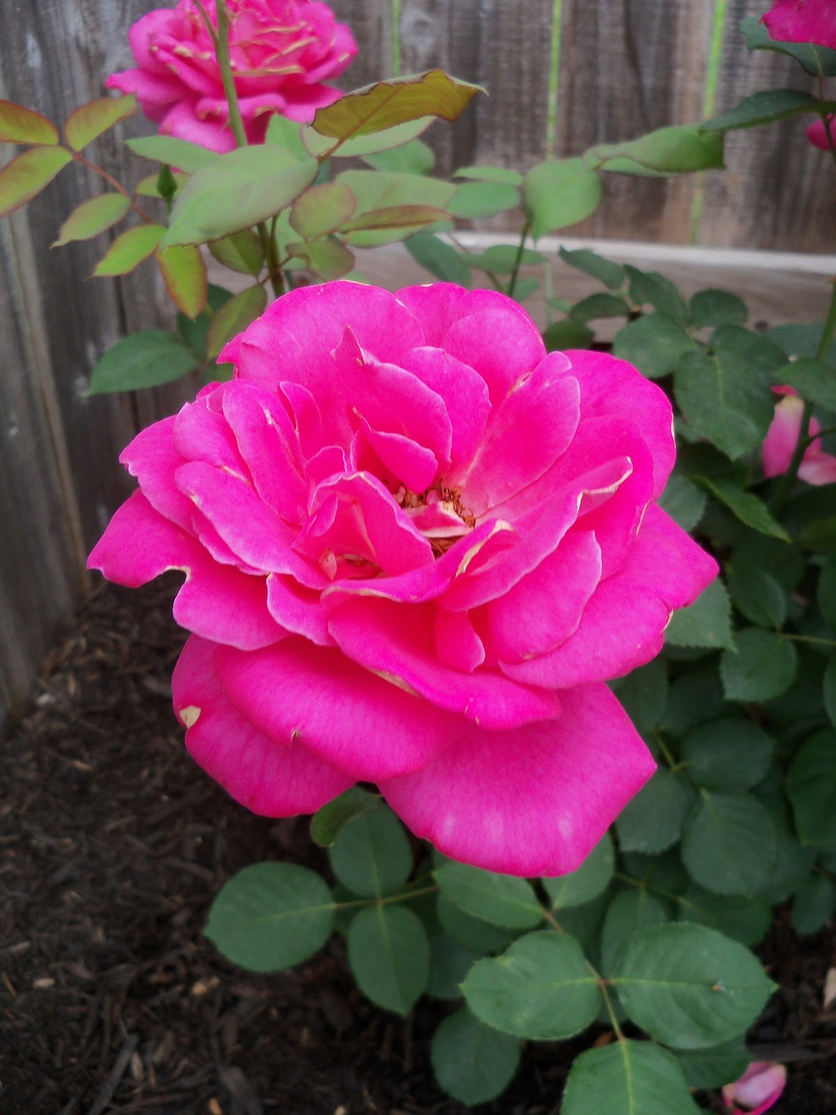 Gardening 2011 - 100_7373.JPG