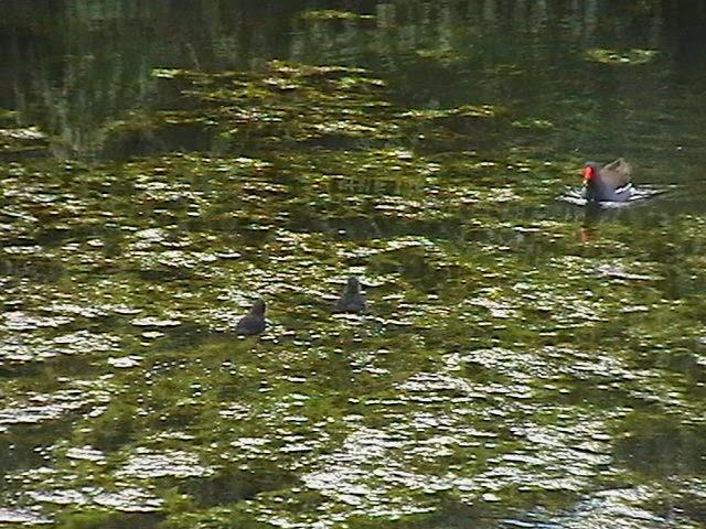 Moorhens on the Pond April 2008 - IMGA3957.jpg