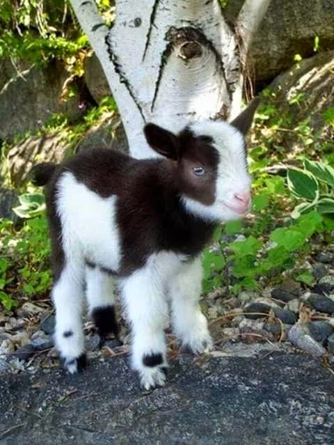 Baby Goat For Instagram
