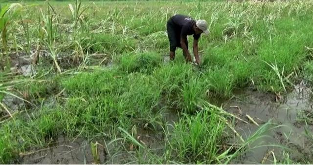 Diguyur Hujan Terus-Menerus Hektaran Tanaman Jagung Mati