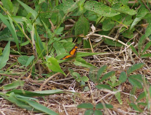 Acraea uvui GROSE-SMITH. Colline de Mvog Beti, Yaoundé (Cameroun), 6 avril 2012. Photo : J.-M. Gayman