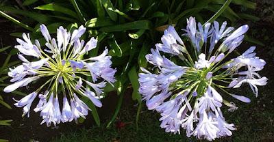 Nishigandh Flower information in marathi