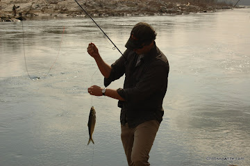 Hickory shad at Chain Bridge