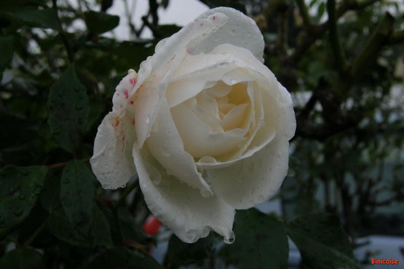 PB220011b_redimensionner Roses dans Photos