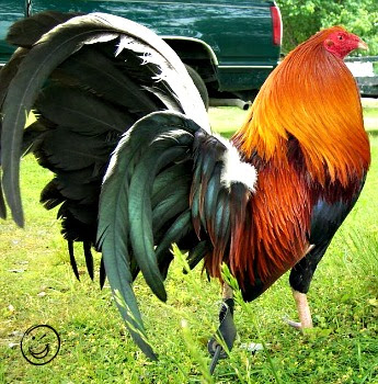 Roosters2077.jpg