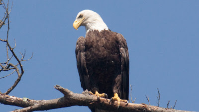 Bald Eagle, Delaware River.