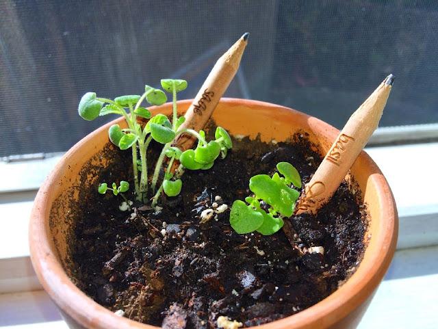 Sprout germina al sol