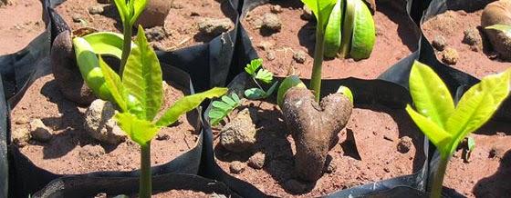 Hạt điều nảy mầm ra cây