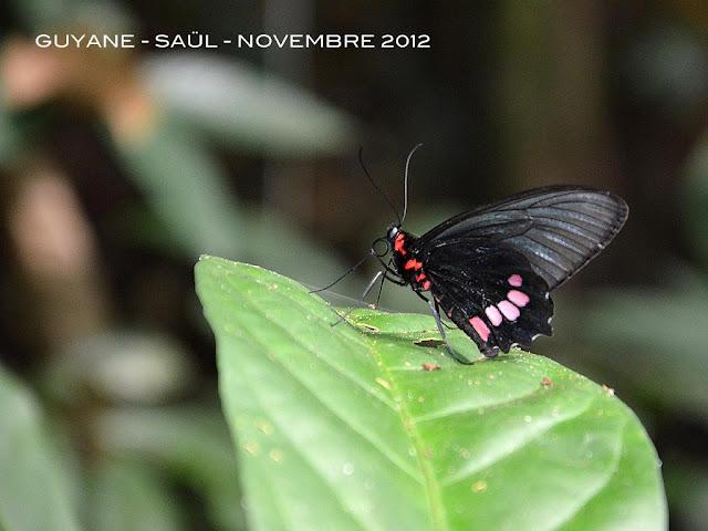 Parides aeneas lucasi Brown & Lamas, 1994, ♀. Saül (Guyane), novembre 2012. Photo : Michel Belloin