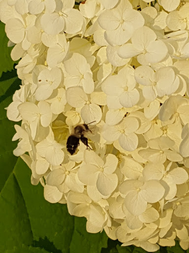 Bee on Hydrangea. From More than A Garden: Curious Llamas, Tiny Houses, and Teapot Trees at Kingsbrae Garden