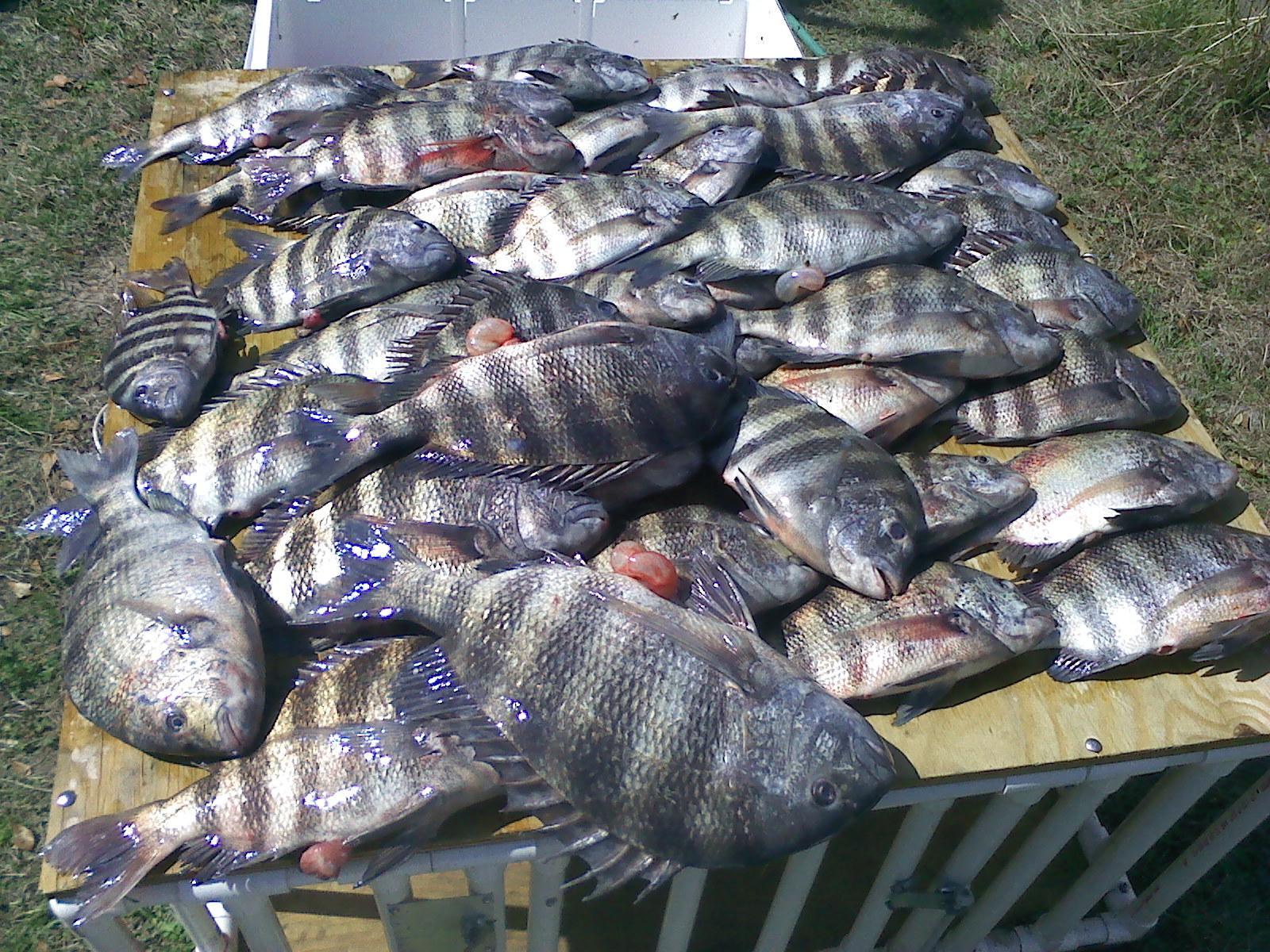 Coastal Georgia and St. Simons Island Charter Fishing Are Saltwater Sheepshead Fish Good To Eat