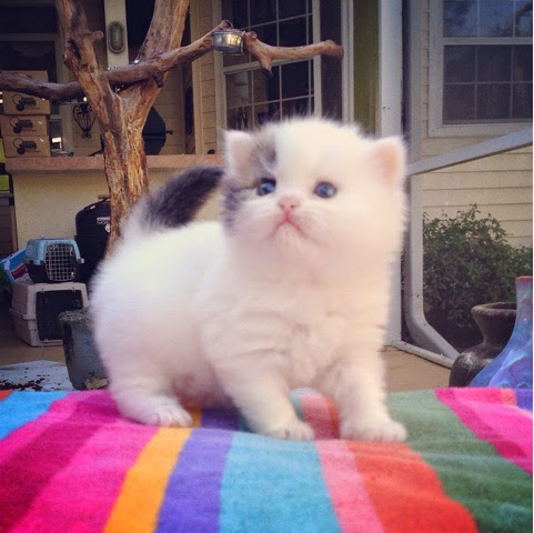 Teacup Kittens For Sale: Christmas Teacup Persian Kittens For Sale