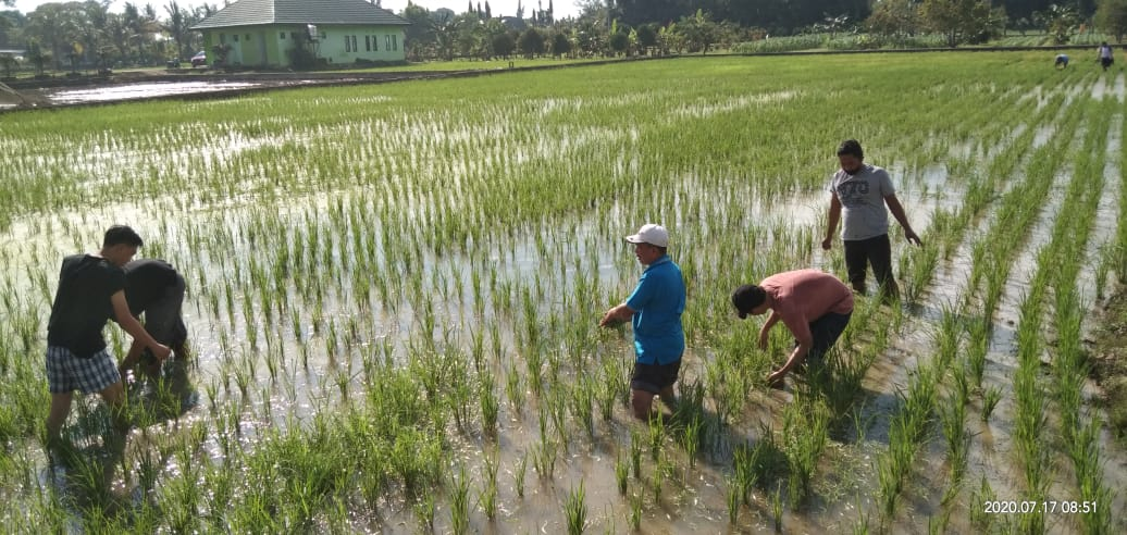 Upaya Tingkatkan Produksi Padi, Karyawan BBPP Batangkaluku Lakukan Penyulaman dan Pengendalian Gulma