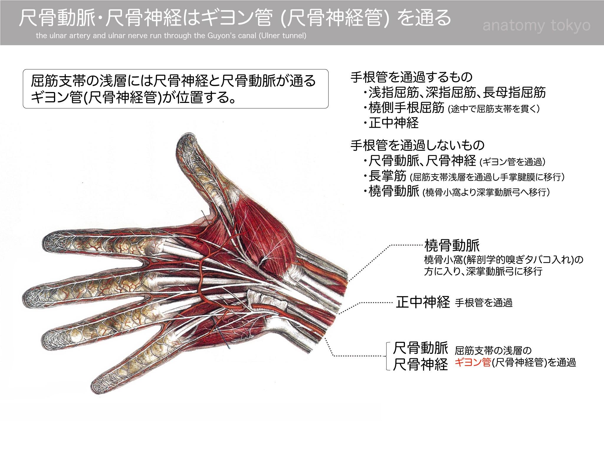 尺骨動脈・尺骨神経はギヨン管(尺骨神経管)を通る