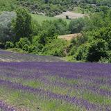 Champ de lavande. Les Hautes-Courennes (480 m), Saint-Martin-de-Castillon (Vaucluse), 19 juin 2015. Photo : J.-M. Gayman