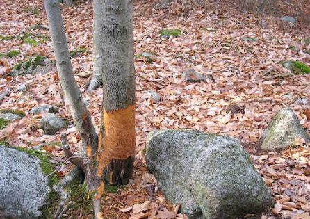 beaver chewed trees.jpg