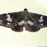 Noctuidae : Ophiderinae : Letis scops GUENÉE, 1852. Pitangui (MG, Brésil), 9 février 2011. Photo : Nicodemos Rosa