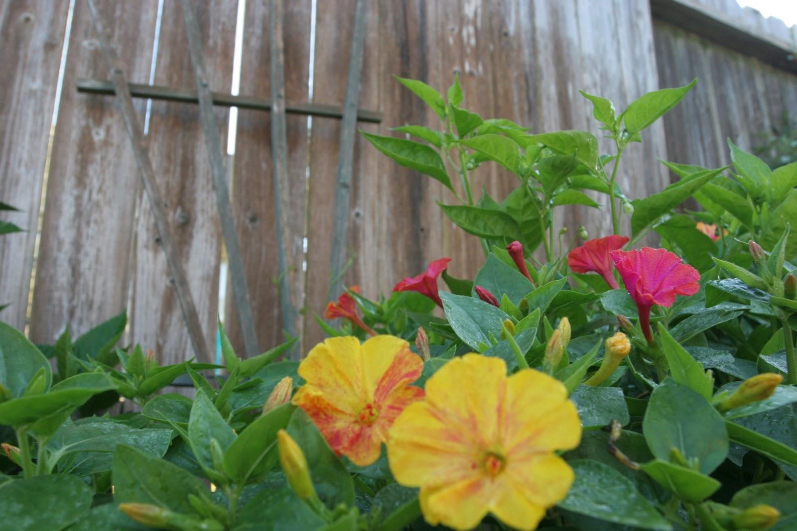 Gardening 2012 - IMG_2943.JPG