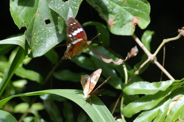 Couple d'Anartia amathea LINNAEUS, 1758. Praia Lopez Mendez (Ilha Grande, RJ), 18 février 2011. Photo : J.-M. Gayman