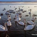 Лебеди (Cygnus sp.)