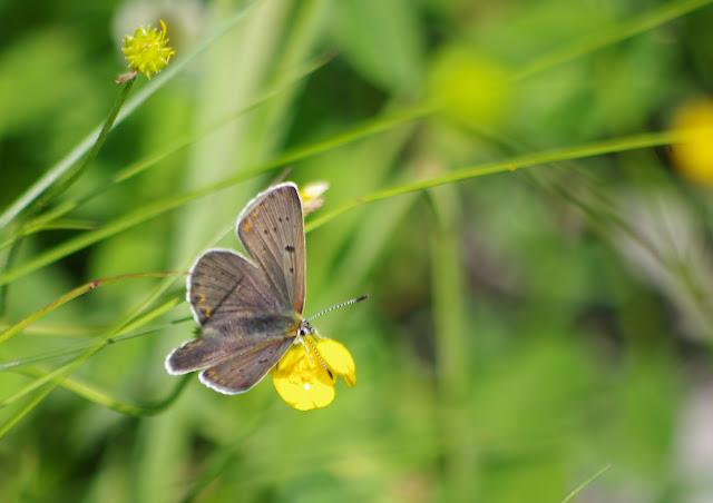 Heodes tityrus tityrus (PODA, 1761), mâle. Fex Curtins, 2000 m (Engadine, Grisons, CH), 12 juillet 2013. Photo : J.-M. Gayman