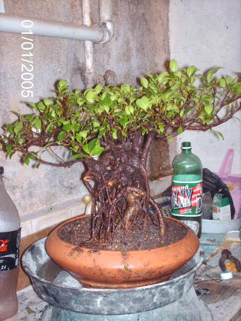 Ficus Microcarpa do Roberto Teixeira... PICT1703