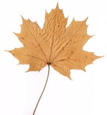 Klon pospolity liść Acer platanoides leaf