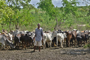 A livestock owner in Kenya with his remaining cattle after drought killed two-thirds of his herd. Photo: Tony Karumba / FAO