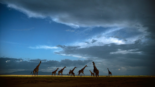 Giraffe Herd Crossing Grasslands, Serengeti National Park, Tanzania.jpg