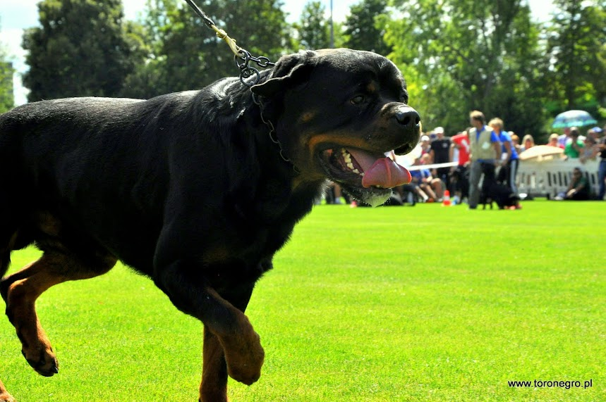 pies rottweiler klasa pośrednia