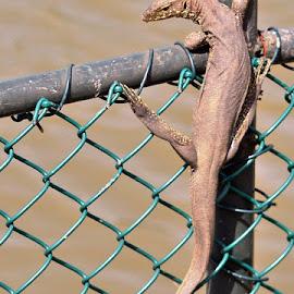 Monitor Lizard by Jaliya Rasaputra - Animals Reptiles