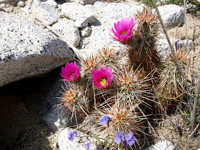 HedgeHog Cactus nestled in the rocks near Indian Gorge