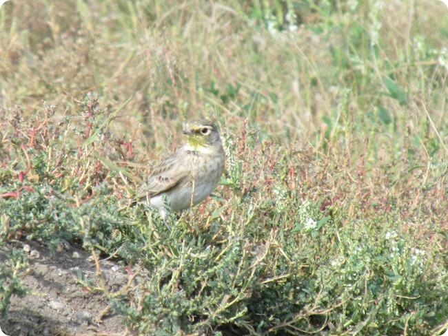 IMG_1081 Horned Lark Bird (6)