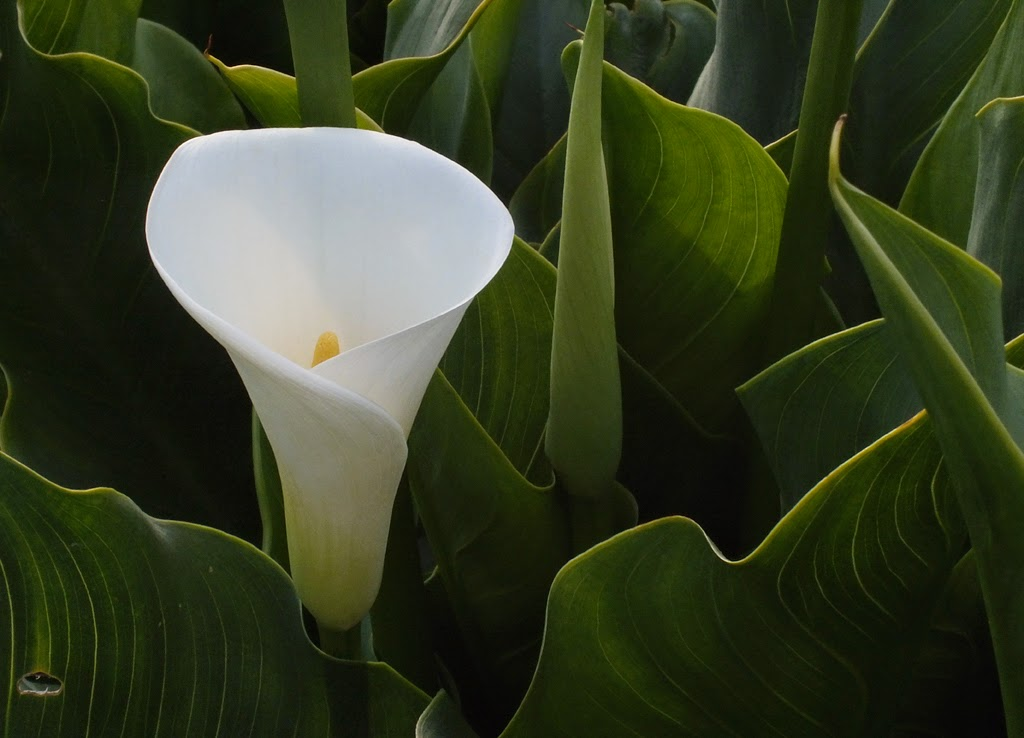 """Single Calla"" by Michael Laakso -- 2nd Place A General"