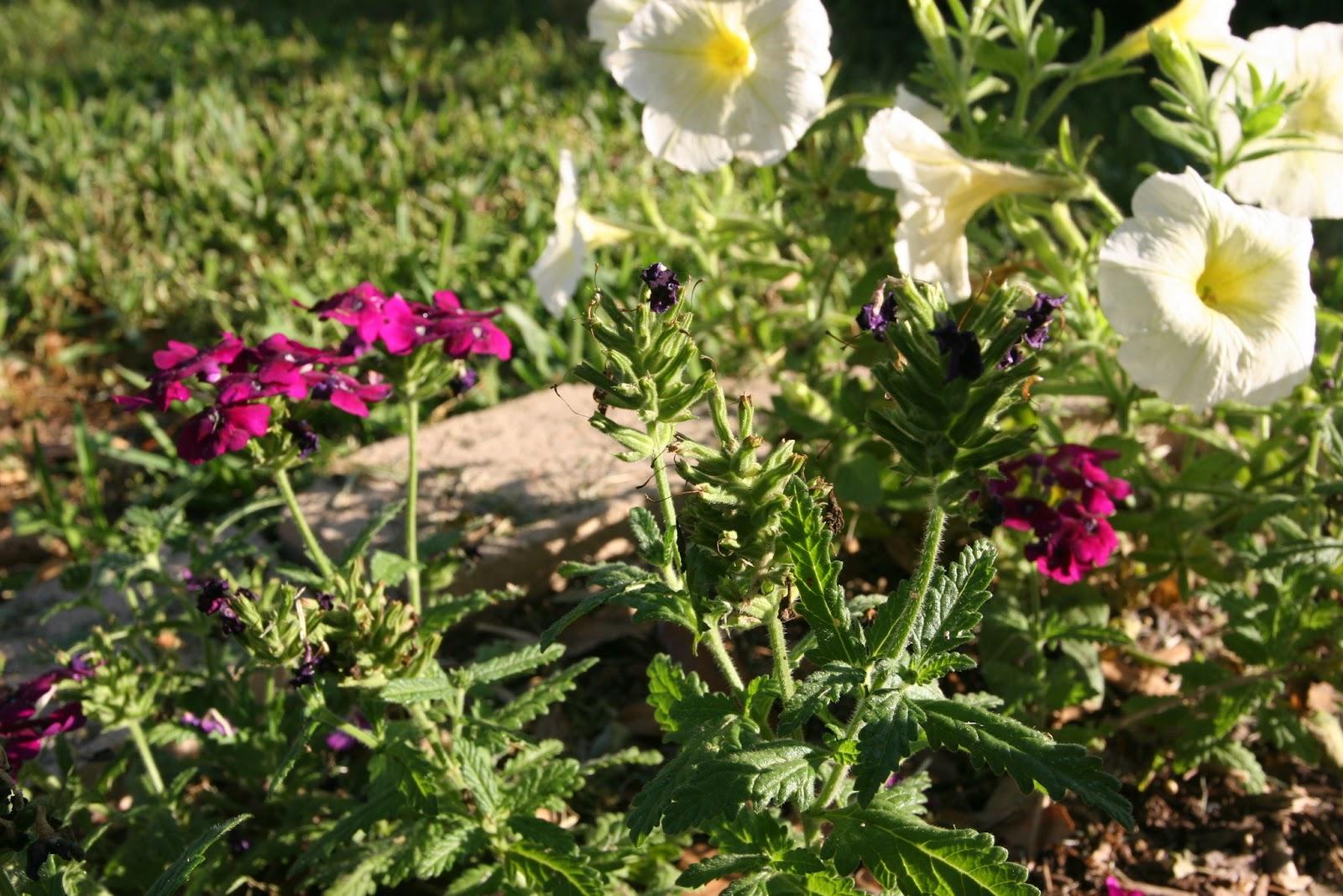 Gardening 2012 - IMG_3159.JPG