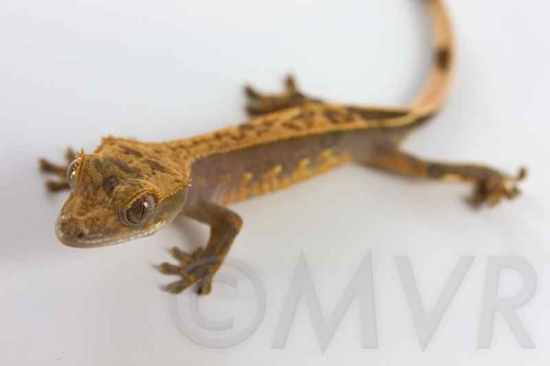 For Sale: Male Crested Gecko – Pocahontas