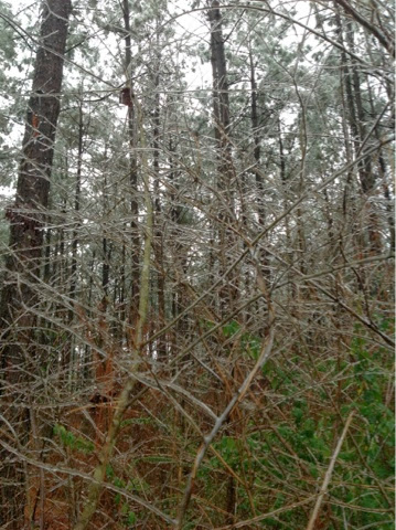 icy Louisiana woods
